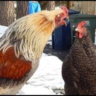 chickencheeks