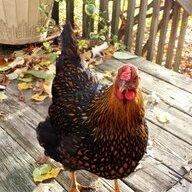 Chickenrpoetry