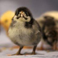 Happy Feet Hen