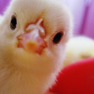 Chick33
