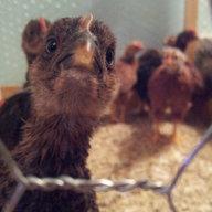 chicksonchicks