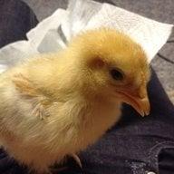 chickenbaby9194