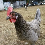 chickenreg