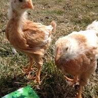 chicken-mom1976