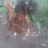 Wilson Chickens