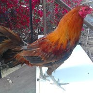 420ROOSTER