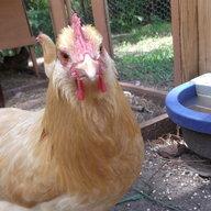 cuteychicken