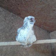 FarmGirls Eggs