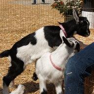 Goat-Chicken