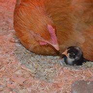 chickenvillemom
