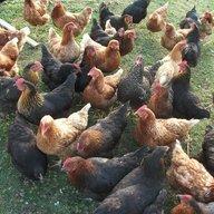 chirpy-chick