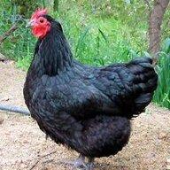 Irish Rooster