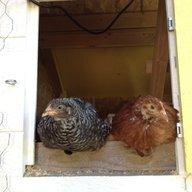 ChickenHopper