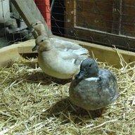 duckingaround