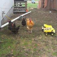 ChickenKids2013