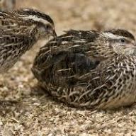 quailbro