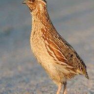 iran quail