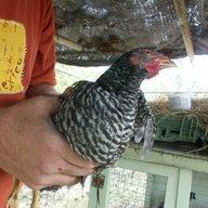 springchicken10