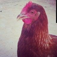 sanmar4chickens