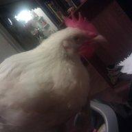 krantz chickens