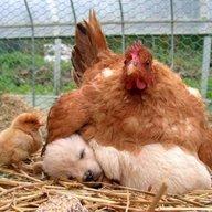 chickenhen