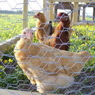 ChickenTerry