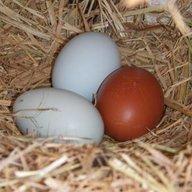 Homesqool Eggs