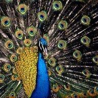 Peacock 812