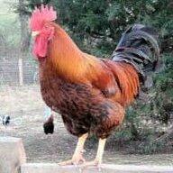 ChickenGirly