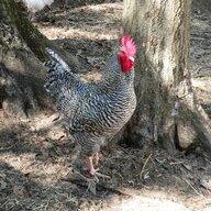 Chickady