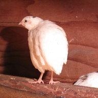 quail lover2440