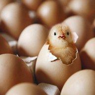ChickenWhisper1