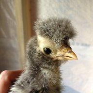 ChickenMama17