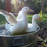 duckholiday