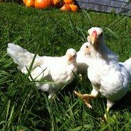lil poules