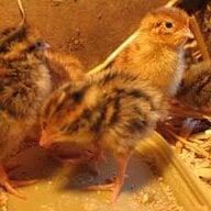 quail31