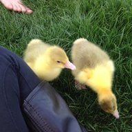 luvmygeese