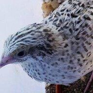 quailymel
