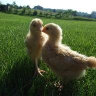Chickensaway