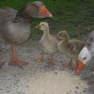 Geese lover