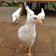 ChickenFlyer