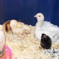 Chickory Chick