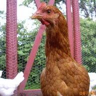 Chickenladyamie