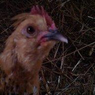 Chicken2628