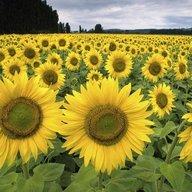 sunflowerchick