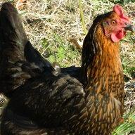 Morrow Chickens
