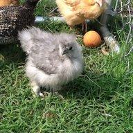 Chickenlover417