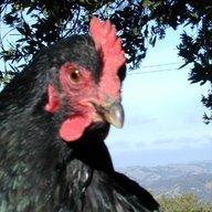 77 chicks