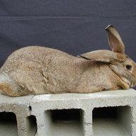 Hillbilly Hares