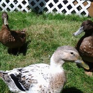 DuckieDabbler